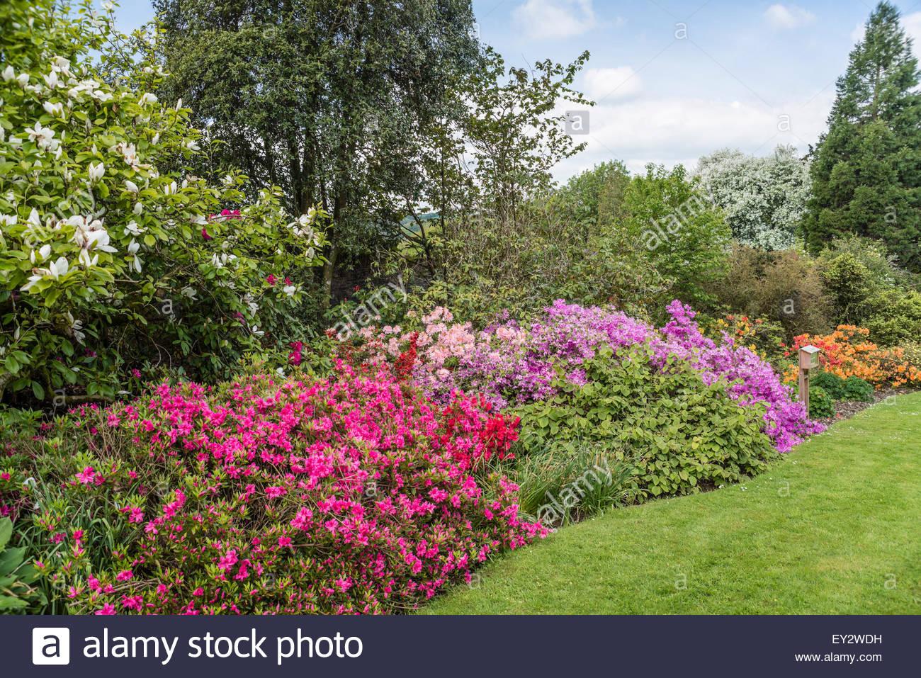 Les buissons d'azalées colorées dans le jardin de Buckland Abbey, Torquay, Devon, Angleterre Photo Stock