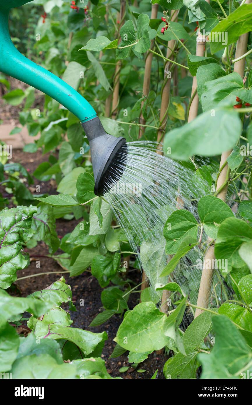 arroser les haricots d'espagne avec un arrosoir dans un jardin