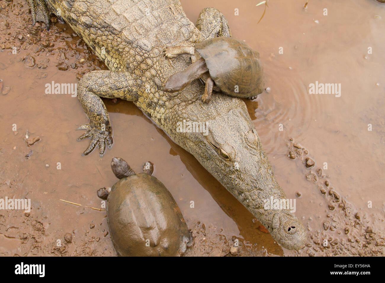 L'Afrique de l'Est de la boue et de la tortue dentelée - Crocodile Kruger Photo Stock