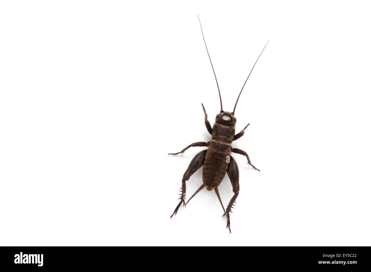 Le Cricket Photo Stock