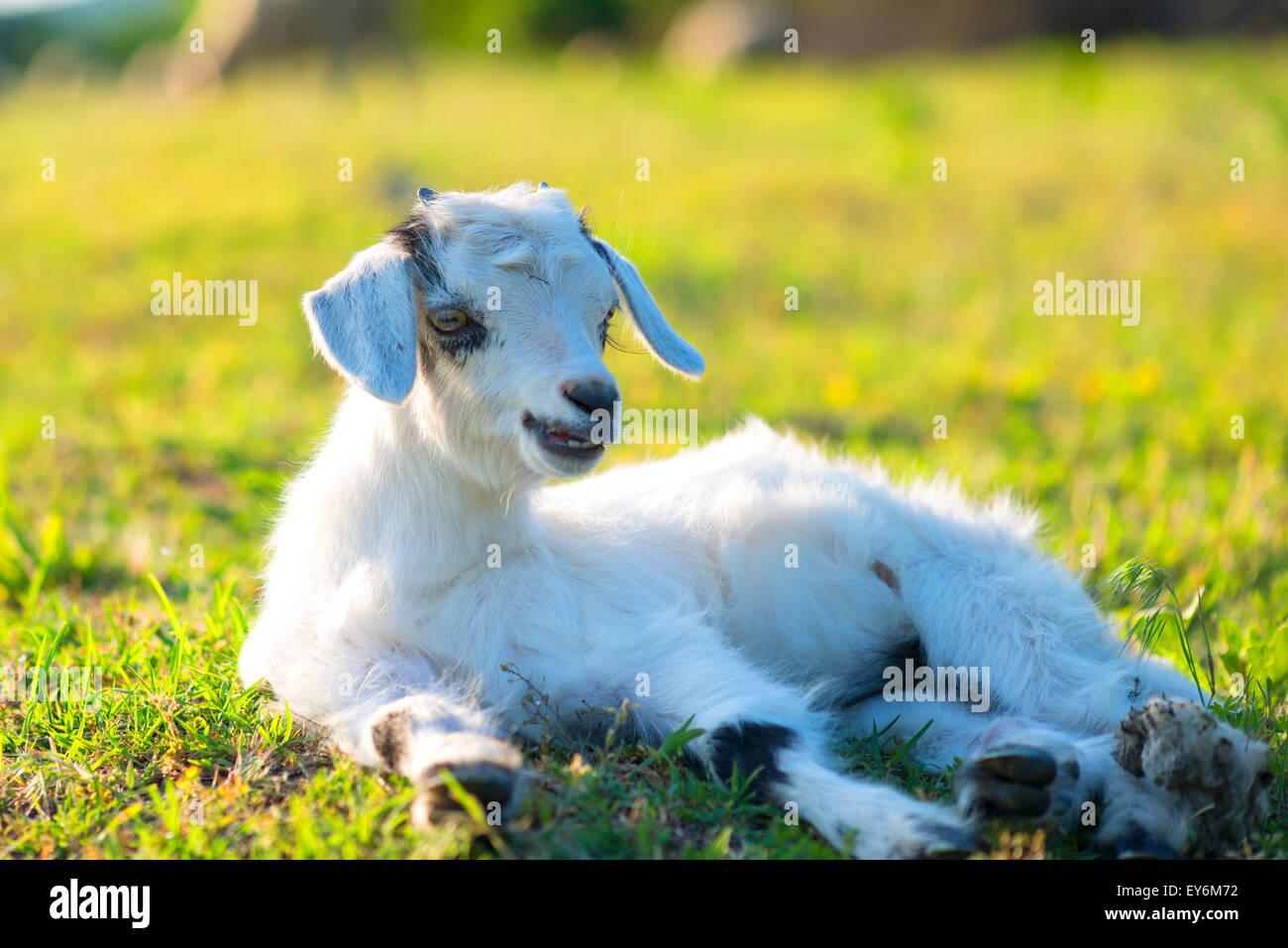 Peu d'agneau nouveau-né au printemps reposant Banque D'Images