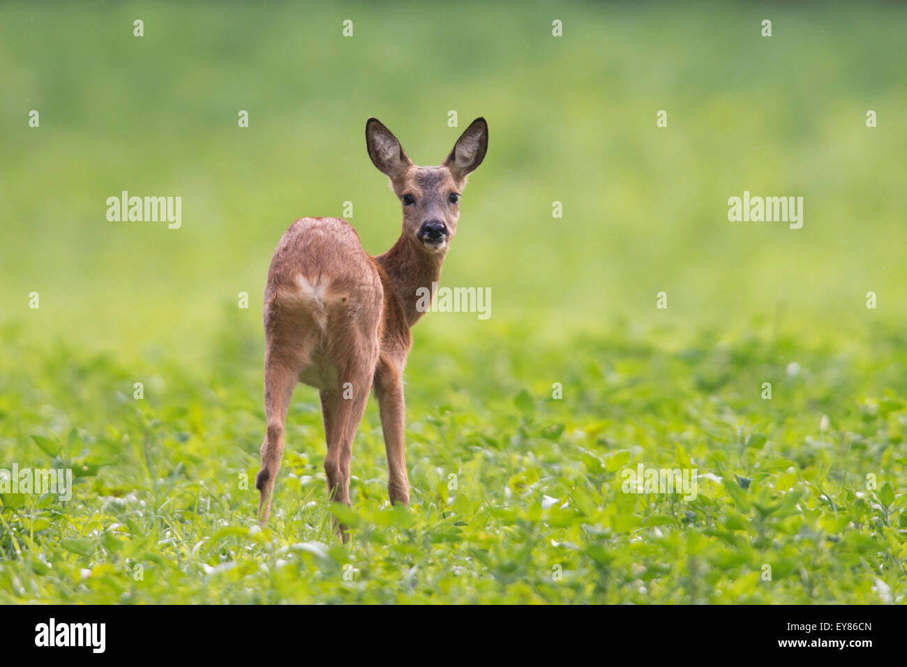 Le Chevreuil (Capreolus capreolus) standing in green field, de l'Ems, Basse-Saxe, Allemagne Photo Stock