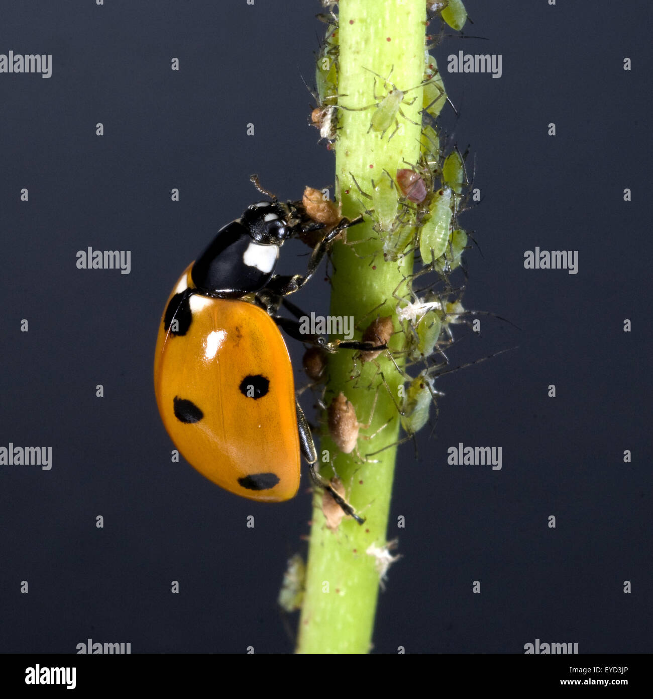 Marienkaefer semptempunctata, Coccinella, beim Fressen von Blattlaeusen, Banque D'Images