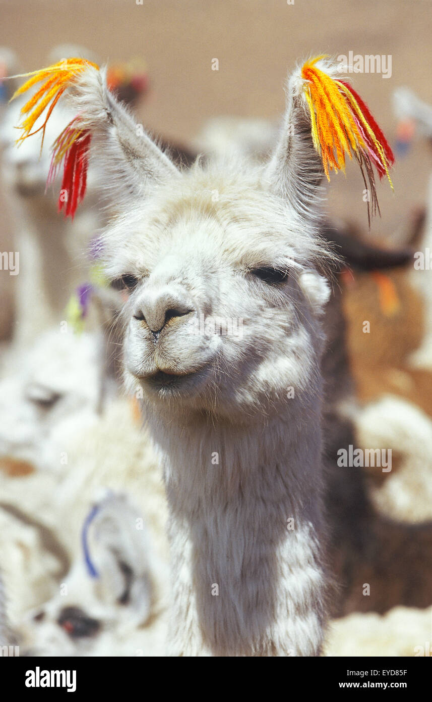 Llama, close-up, la Bolivie, l'Amérique du Sud Photo Stock