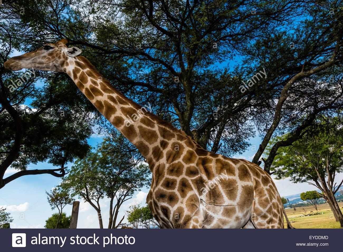 La girafe, le Lion Park, près de Johannesburg, Afrique du Sud. Photo Stock