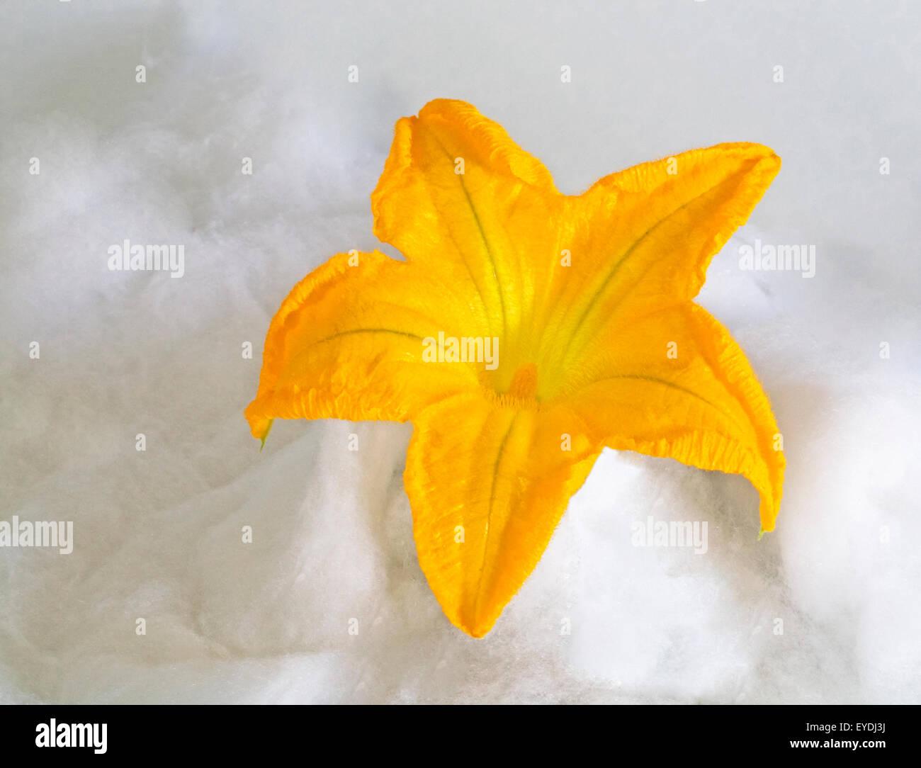 L'intérieur d'une fleur de courgette Photo Stock