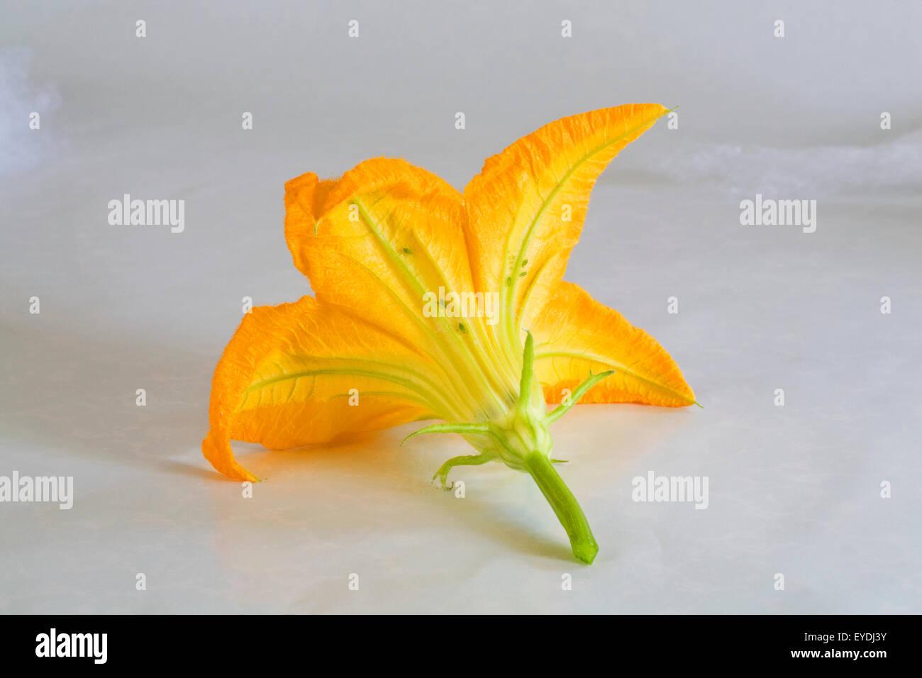 Une fleur mâle ou fleur d'une plante courgettes Photo Stock