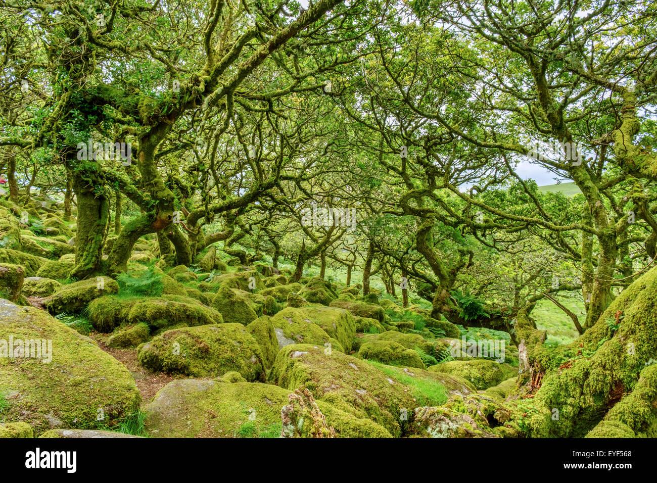Wistman's Wood, un haut-altitude oakwood (Quercus robur), près de deux ponts, Dartmoor National Park, Devon, Photo Stock