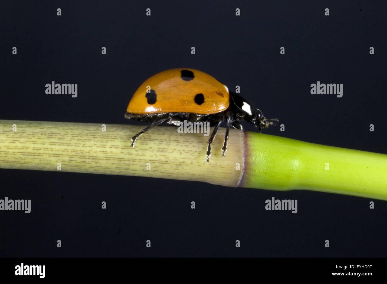 Marienkaefer semptempunctata, Coccinella,, Banque D'Images