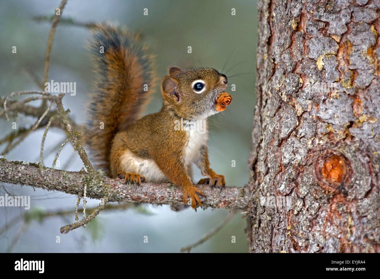 Bébé écureuil rouge |en arbre avec cône de l'épinette Photo Stock