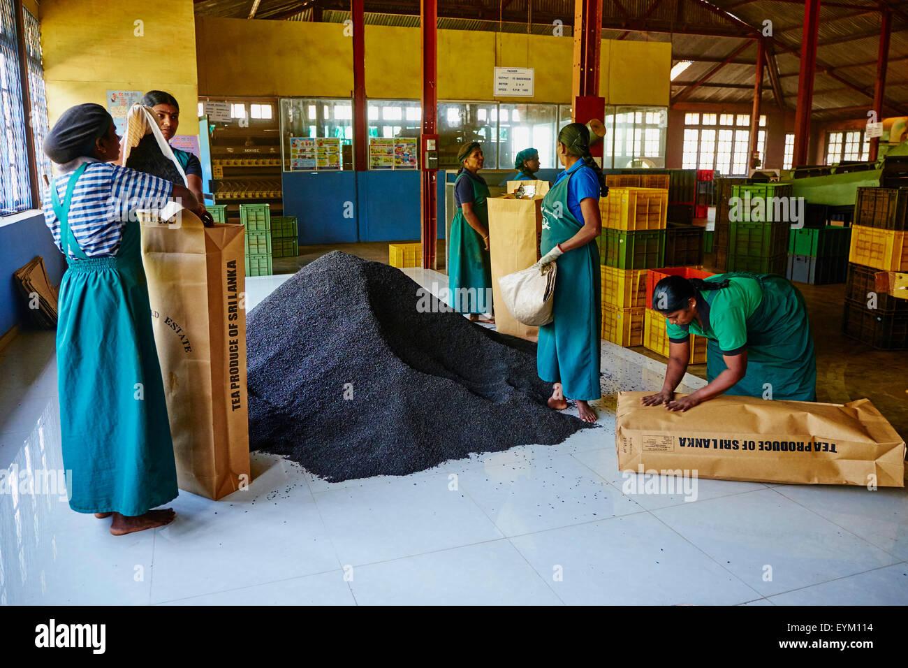 Sri Lanka, Ceylan, la Province centrale, Nuwara Eliya, plantation de thé, dans les Highlands, de thé Bluefield, Photo Stock