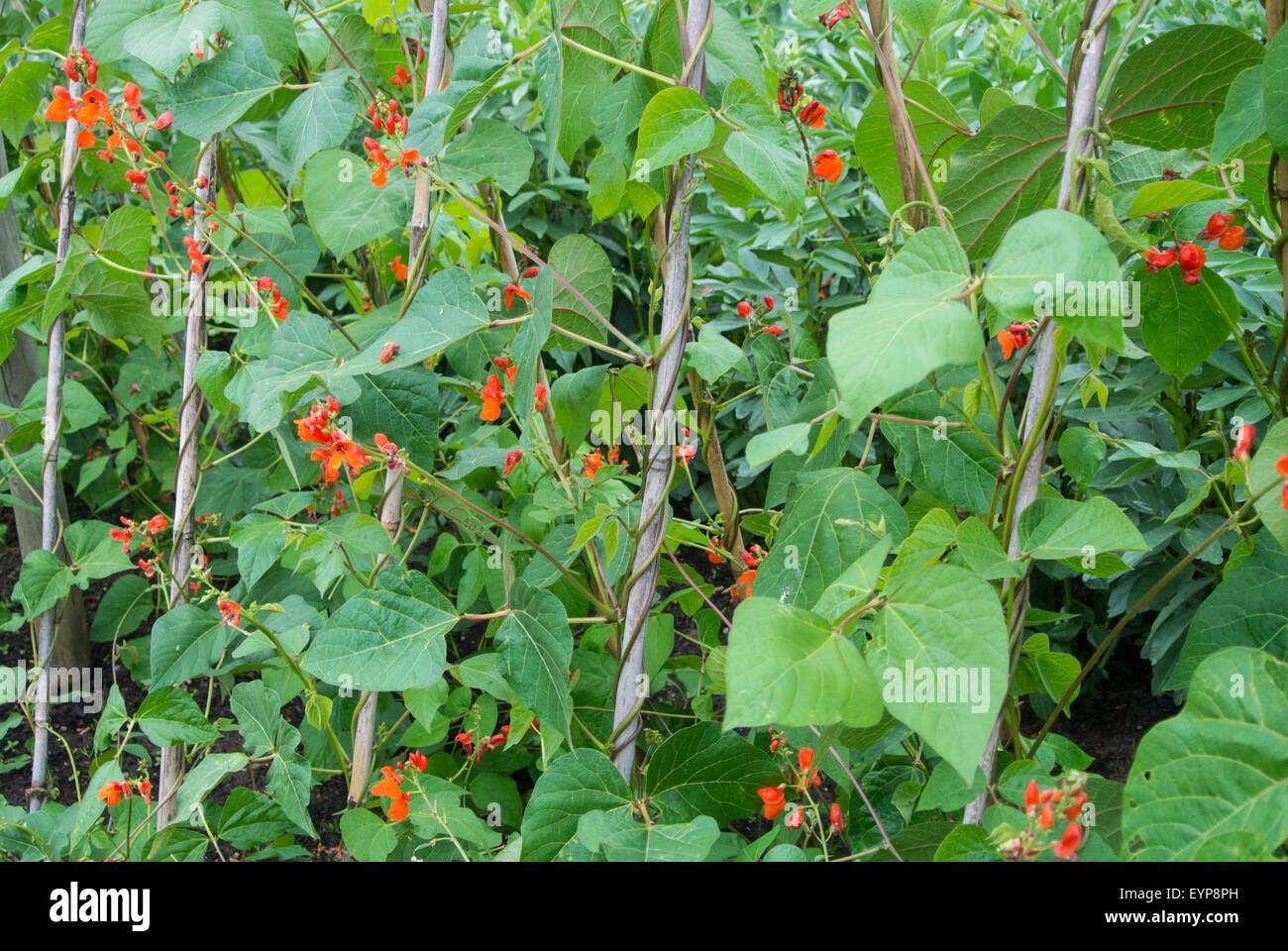 "Runner bean, ""Scarlet Emperor' avec des fleurs de canne en grandissant. Photo Stock"