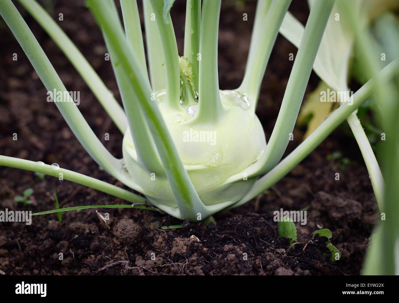 Close up de chou-rave, navet navet allemand (chou) dans le jardin. Photo Stock