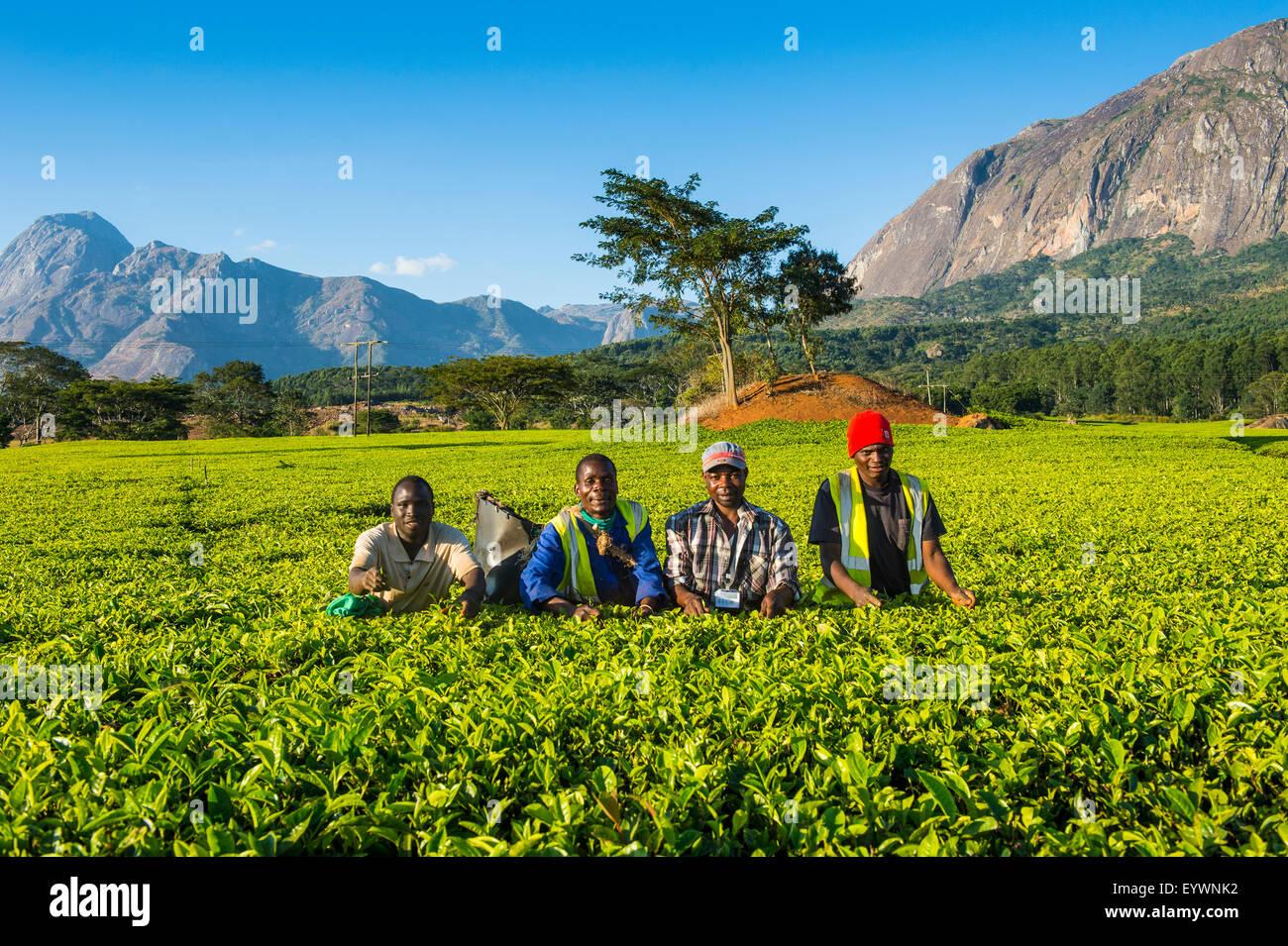 Les cueilleurs de thé sur une plantation de thé sur le mont Mulanje, Malawi, Afrique Photo Stock
