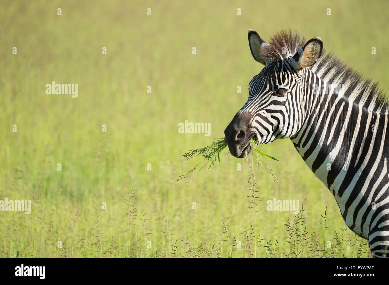 Crawshays zebra (Equus quagga crawshayi), le parc national de South Luangwa, en Zambie, l'Afrique Banque D'Images
