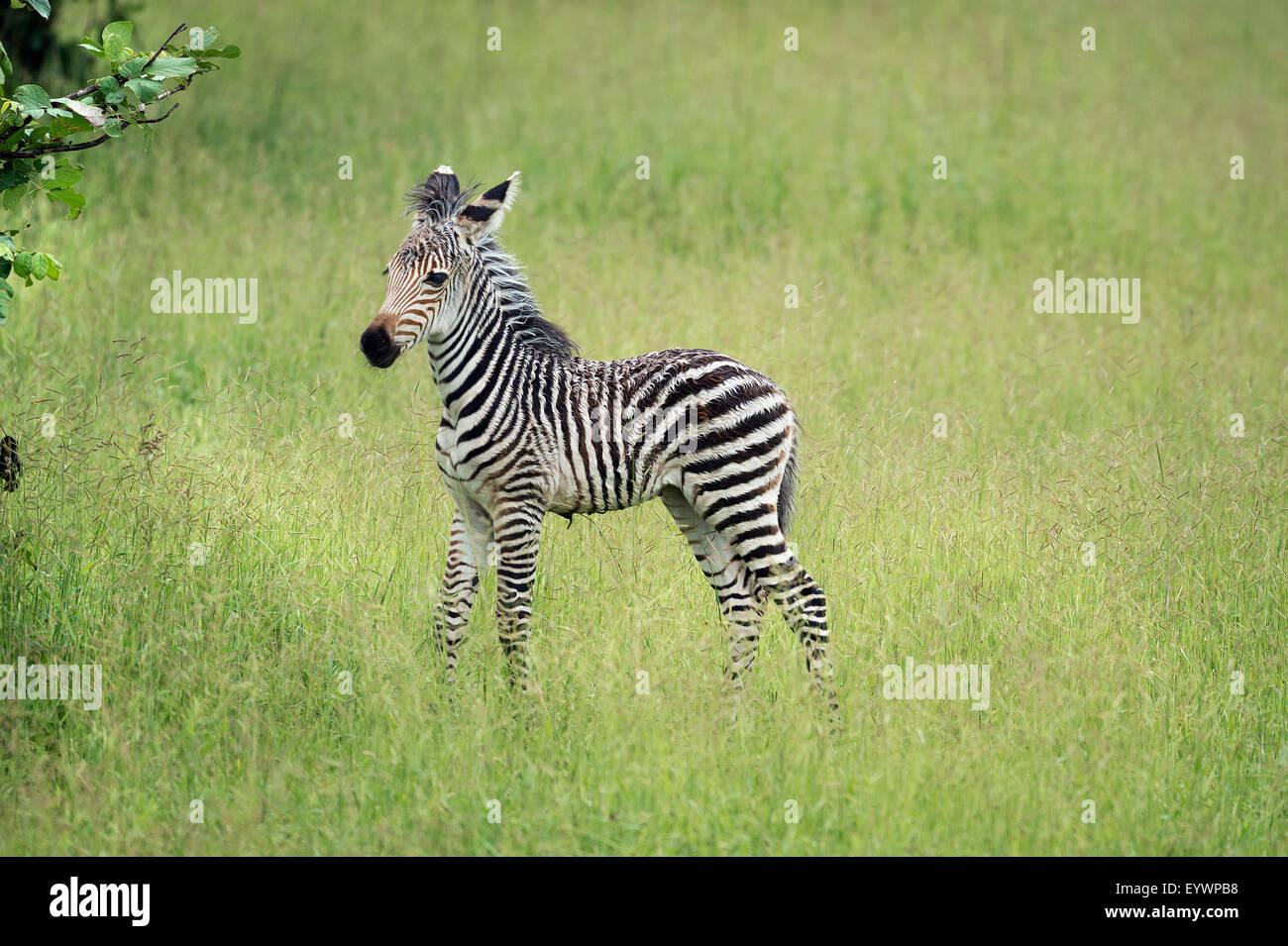 Crawshays zebra foal (Equus quagga crawshayi), le parc national de South Luangwa, en Zambie, l'Afrique Banque D'Images
