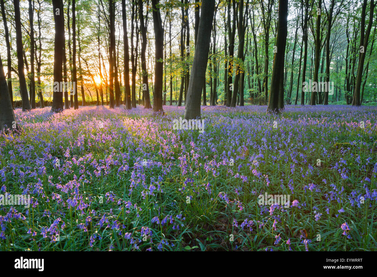 Bluebell wood, Stow-on-the-Wold, Cotswolds, Gloucestershire, Angleterre, Royaume-Uni, Europe Photo Stock