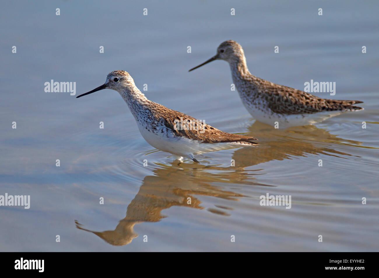 Marsh sandpiper Tringa stagnatilis (), deux oiseaux pataugeant en eau peu profonde, la Grèce, Lesbos Photo Stock