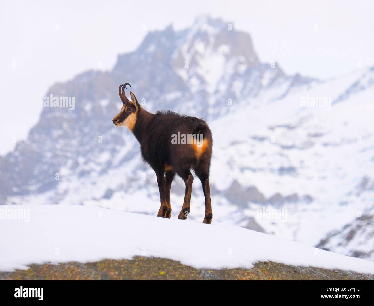 Chamois (Rupicapra rupicapra), dans la montagne enneigée paysages, Italie, Parc National du Gran Paradiso Photo Stock