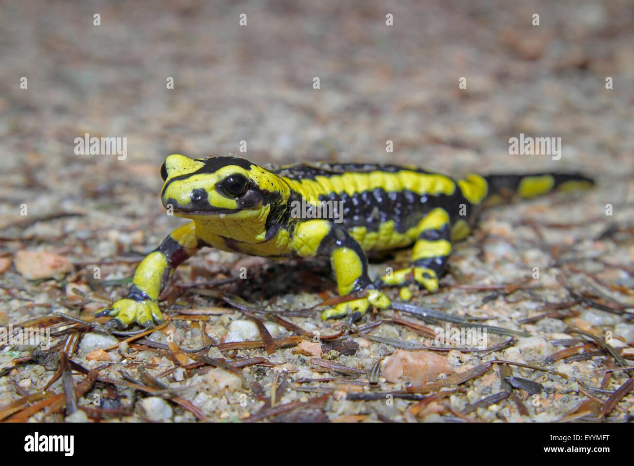 Salamandre terrestre européen (Salamandra salamandra), fire salamander marcher sur le terrain, l'Allemagne, Bade-Wurtemberg Banque D'Images