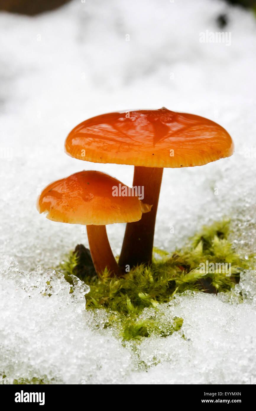 La queue de velours, les champignons Enoki, aiguille d'or, champignons, champignons d'hiver pied velouté, Photo Stock
