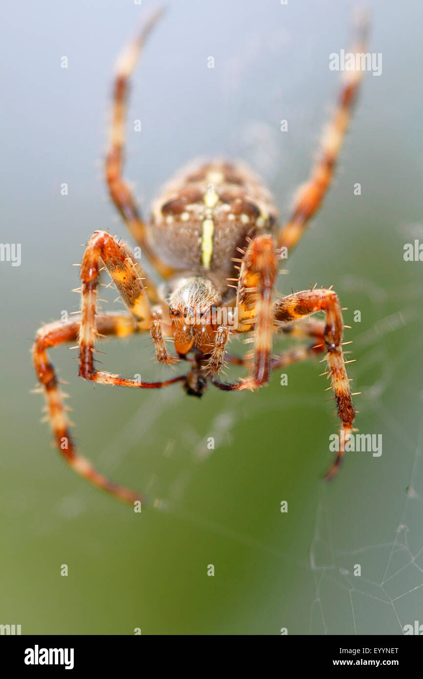Cross orbweaver, jardin araignée, spider Araneus diadematus (croix), femelle dans le filet avec les proies, Allemagne Banque D'Images