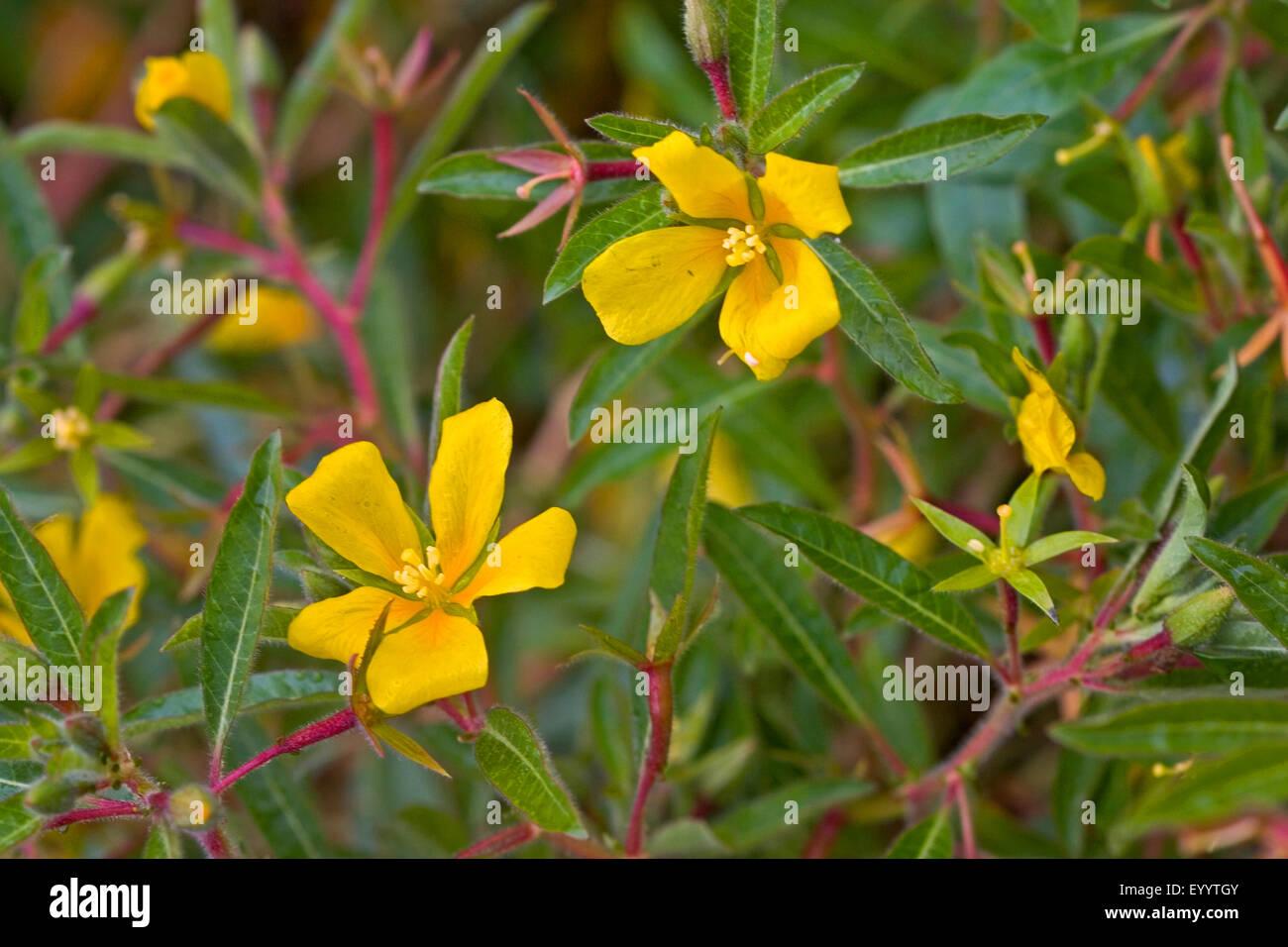 De l'eau vivaces primrose, Uruguay (waterprimrose Ludwigia grandiflora, Ludwigia uruguayensis, Jussiaea grandiflora), Photo Stock