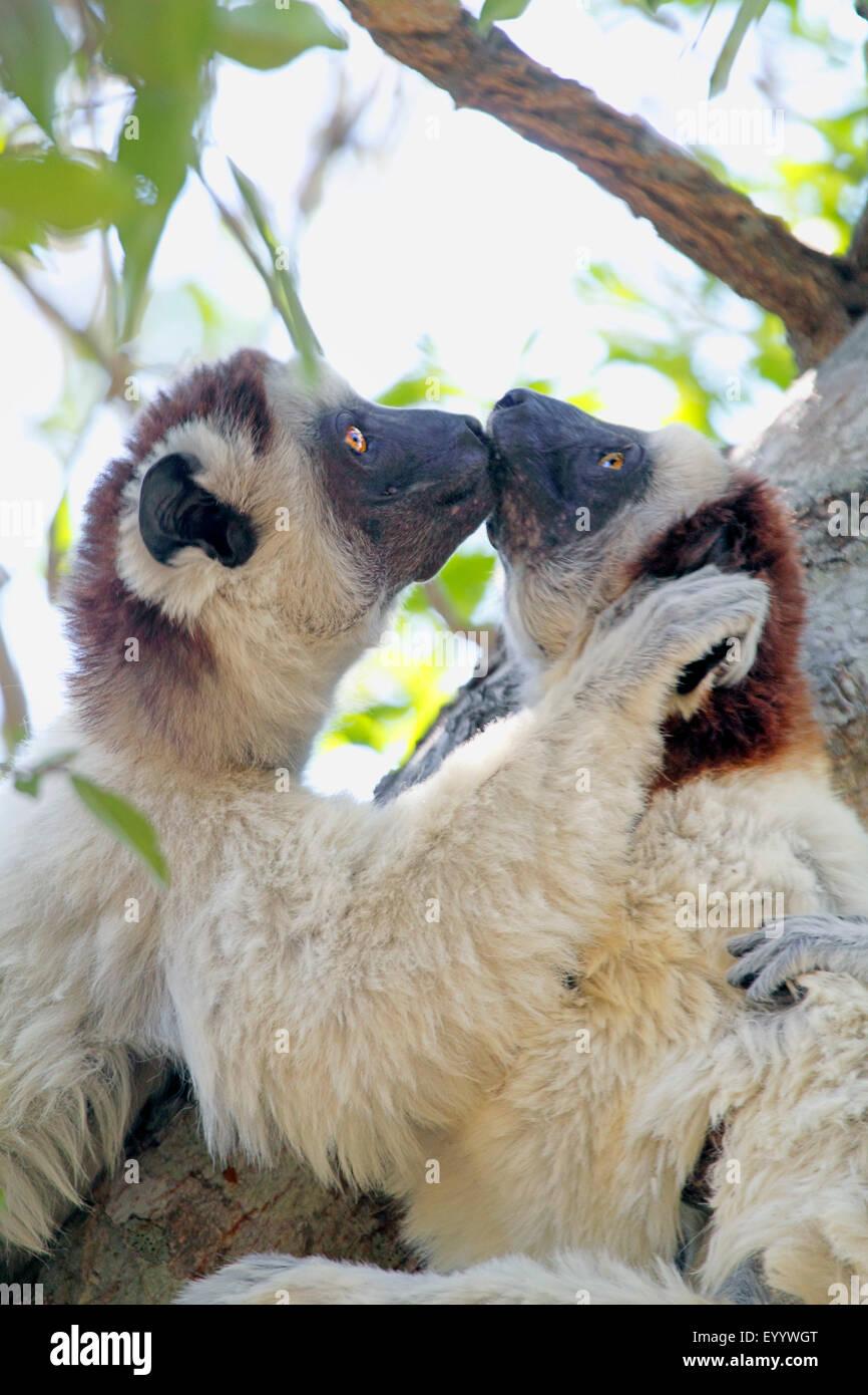 Le propithèque de verreaux (Propithecus verreauxi), deux animaux sont assis dans un arbre et l'embrasser, Photo Stock
