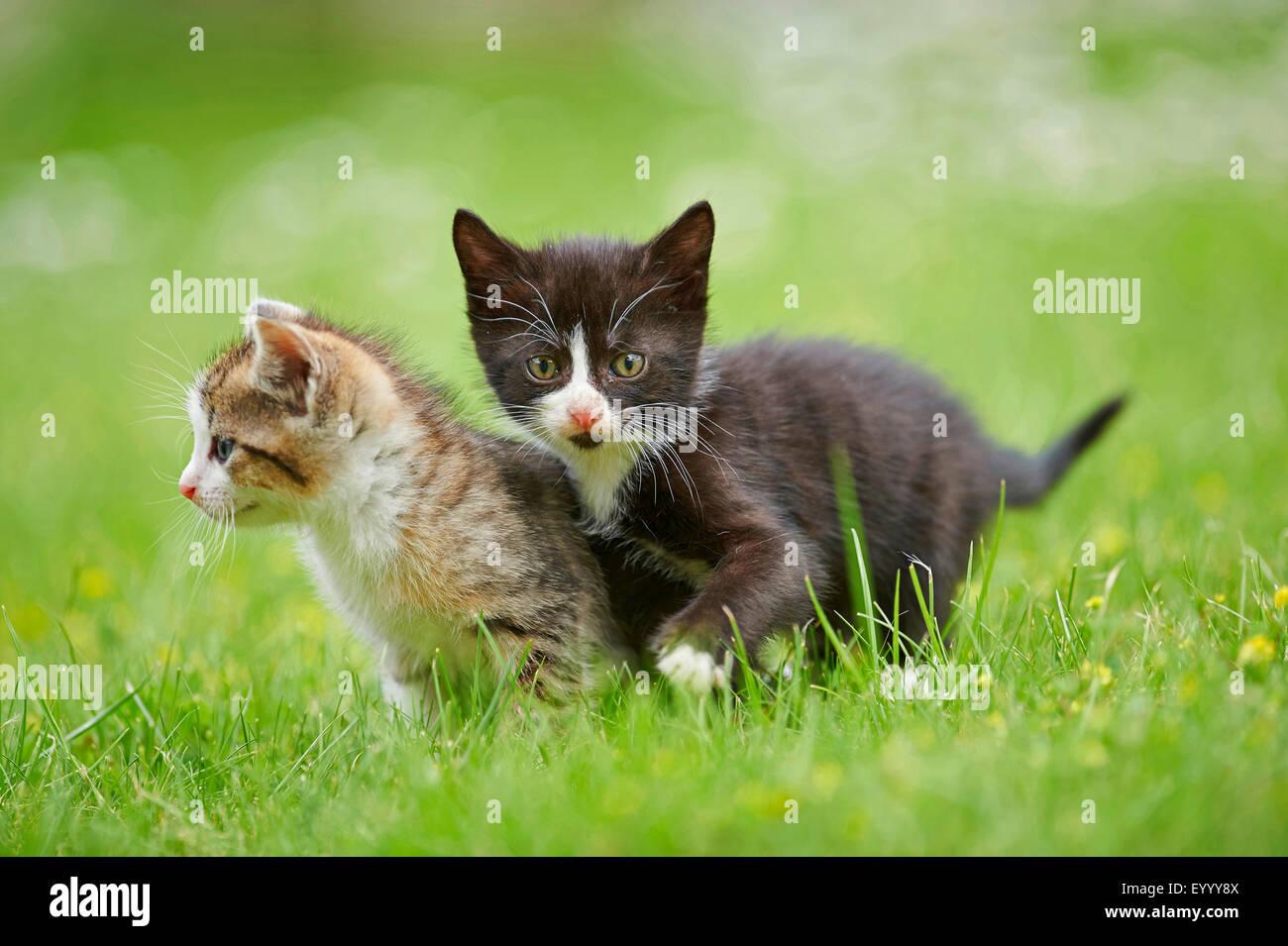 Chat domestique, le chat domestique (Felis silvestris catus), f. deux chatons de six semaines dans un pré, Photo Stock