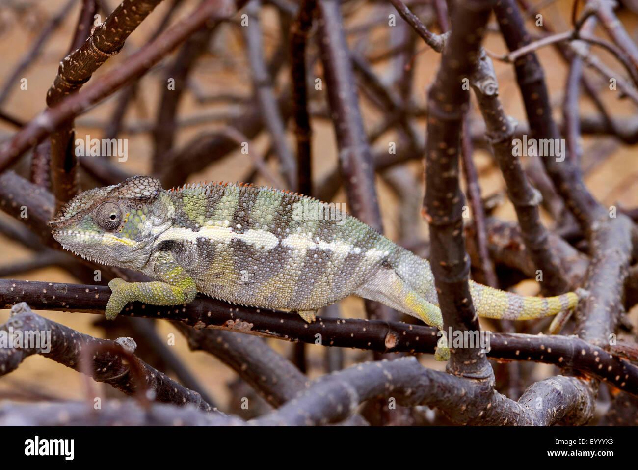 Caméléon panthère (Furcifer pardalis, Chamaeleo pardalis), est situé sur une des branches, Madagascar, Photo Stock