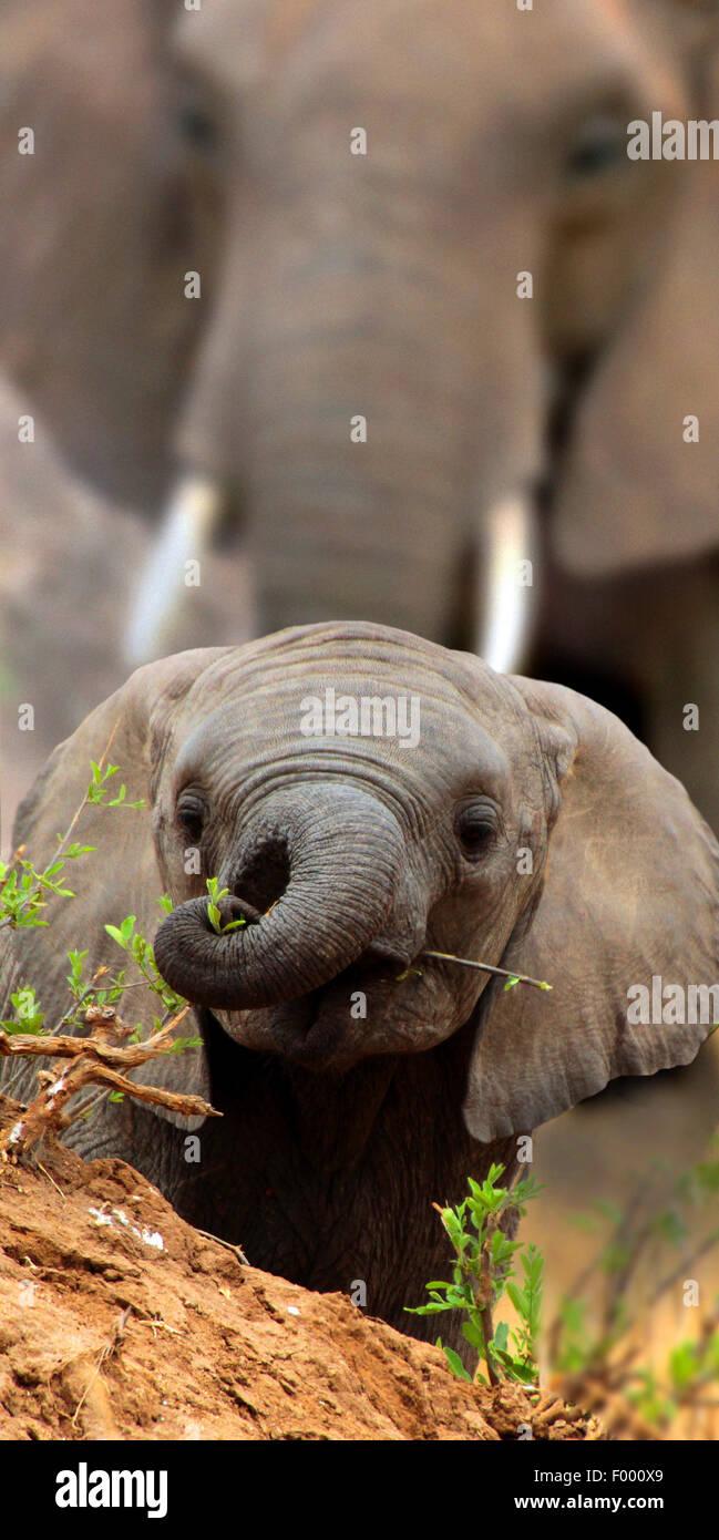 L'éléphant africain (Loxodonta africana), bébé éléphant donne sur une petite colline, Photo Stock