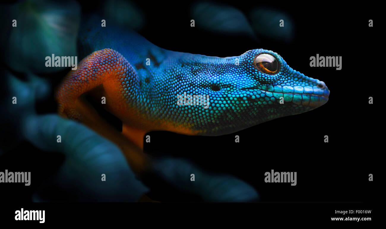 Gecko bleu électrique, Williams (Gecko Lygodactylus williamsi nain), portrait, Tanzanie Photo Stock