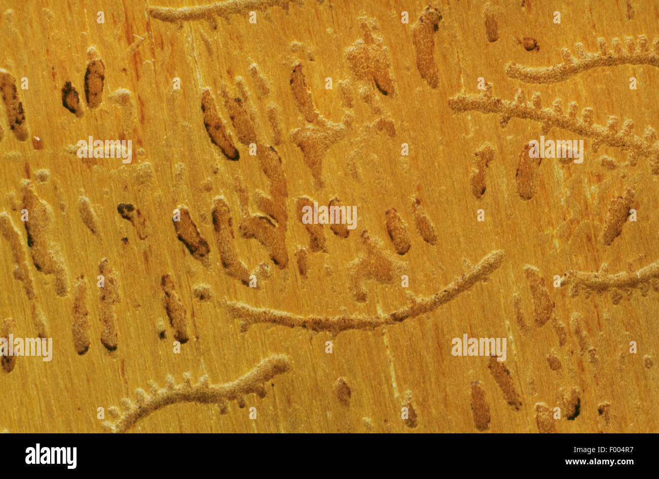 Six-dentated (Pityogenes chalcographus scolytes), Burrows dans le bois Photo Stock