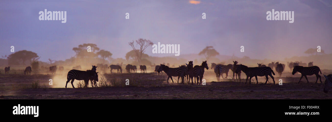 La moule commune (Equus quagga), troupeau à , le Parc national Amboseli Photo Stock