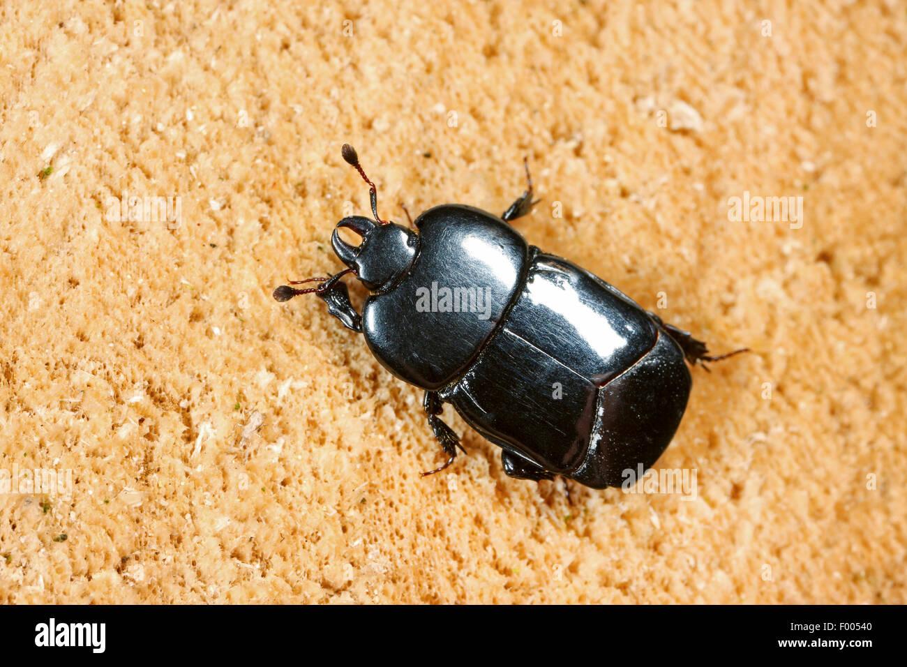 Imiter beetle (Hololepta plana), sur bois, Allemagne Photo Stock