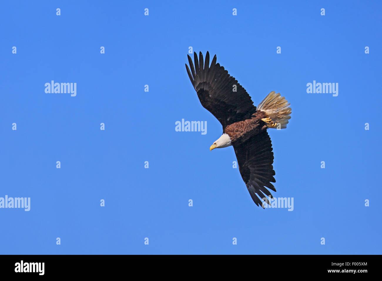 American Bald Eagle (Haliaeetus leucocephalus), volant à le bleu du ciel, l'île de Vancouver, Canada Banque D'Images
