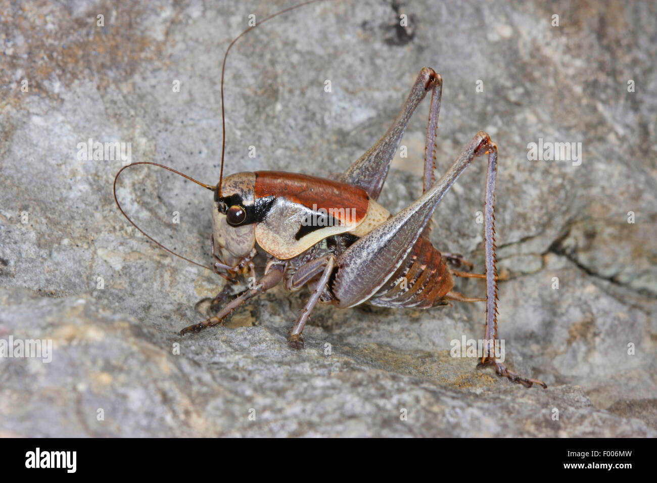 Bushcricket littoral dalmate, The Bush-cricket, cricket Bush sombre dalmates (Pholidoptera dalmatica), assis sur Photo Stock