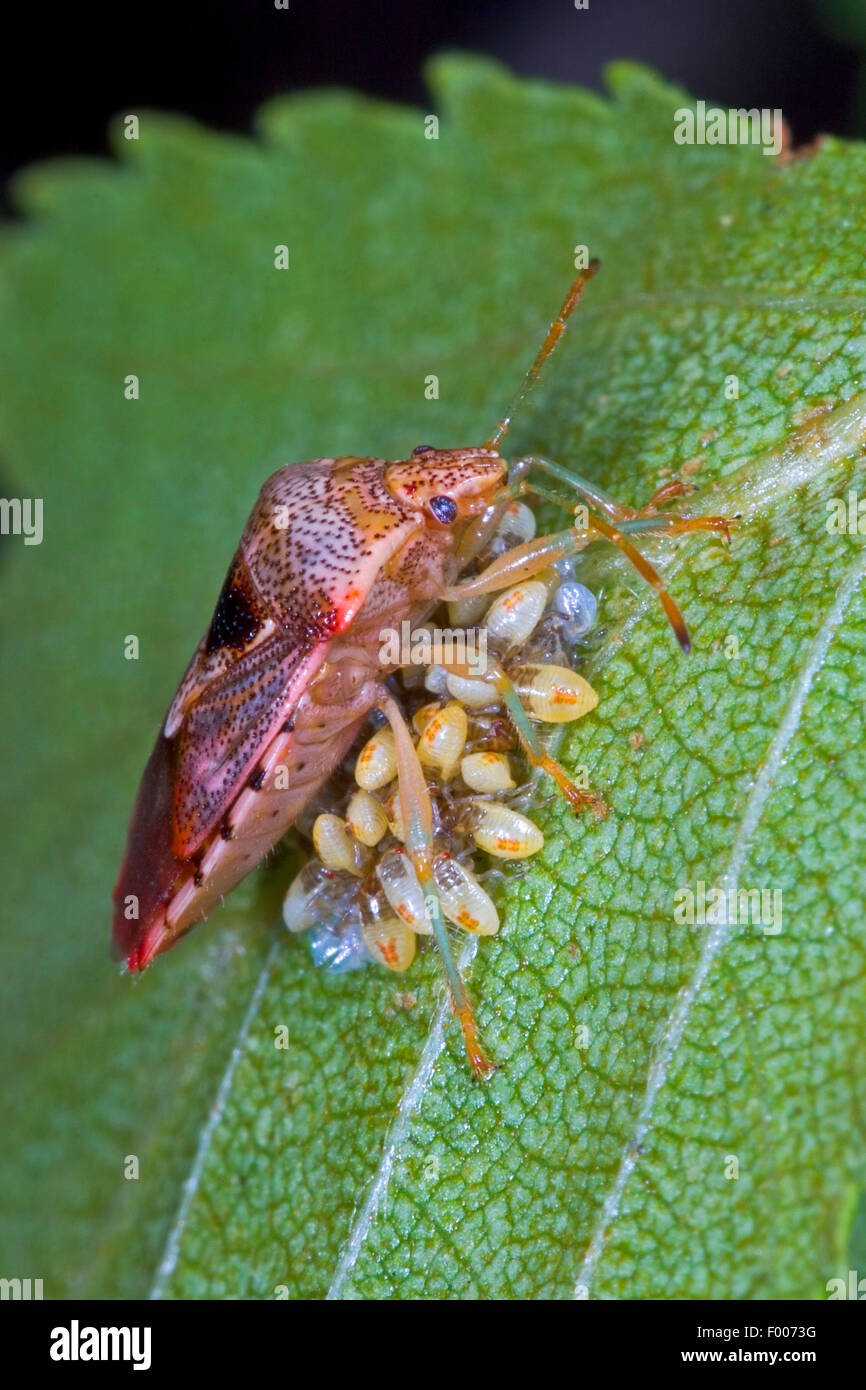 Bug parent, le maternage bug (Elasmucha grisea), garde ses œufs, Allemagne Photo Stock