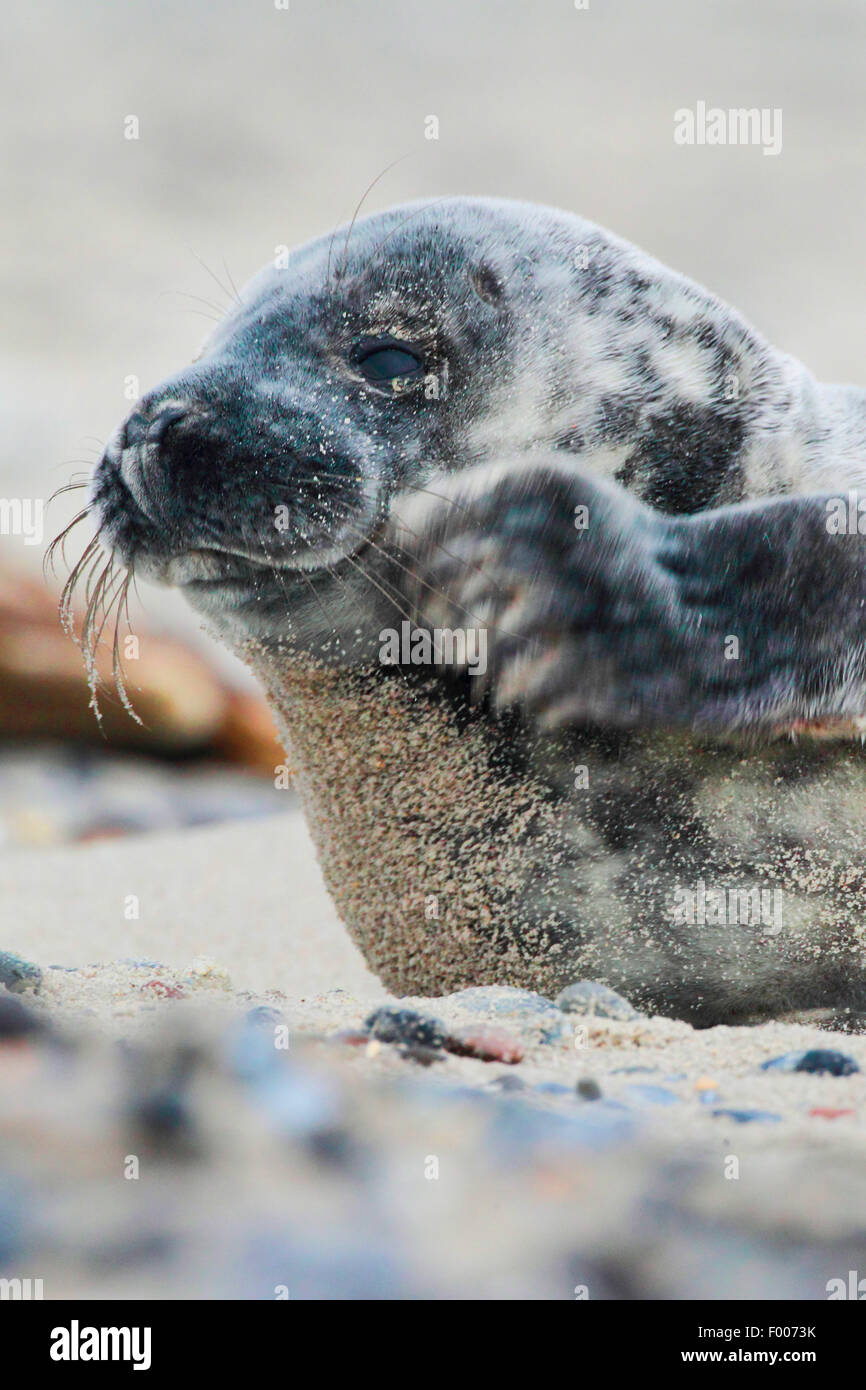 Phoque gris (Halichoerus grypus), pup rayures, Allemagne, Schleswig-Holstein, Helgoland Photo Stock
