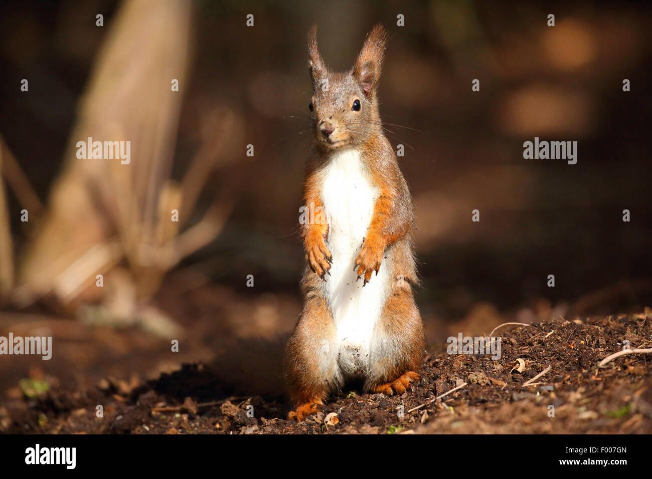 L'écureuil roux européen eurasien, l'écureuil roux (Sciurus vulgaris), assis sur les pattes Photo Stock