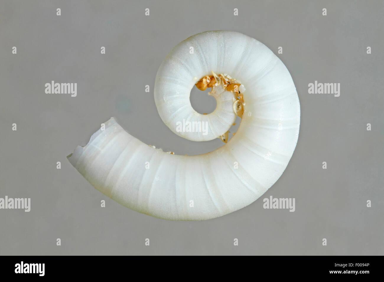 Ram's Horn, squid spirula Spirula spirula (commune), phragmocone en face de fond gris Banque D'Images
