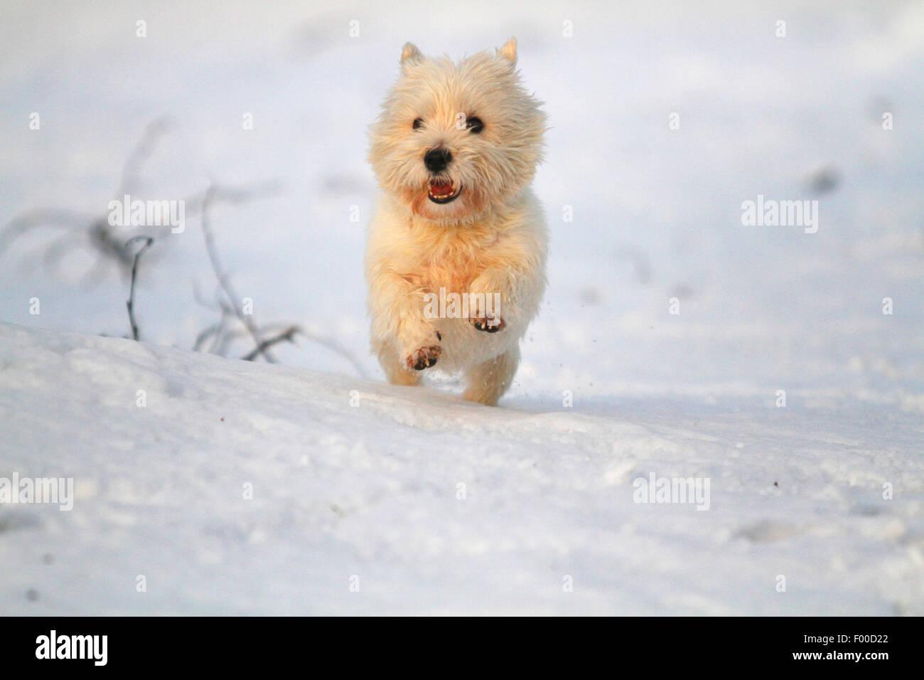 West Highland White Terrier, Westie (Canis lupus f. familiaris), frolicing de bonne humeur dans la neige, Allemagne Photo Stock