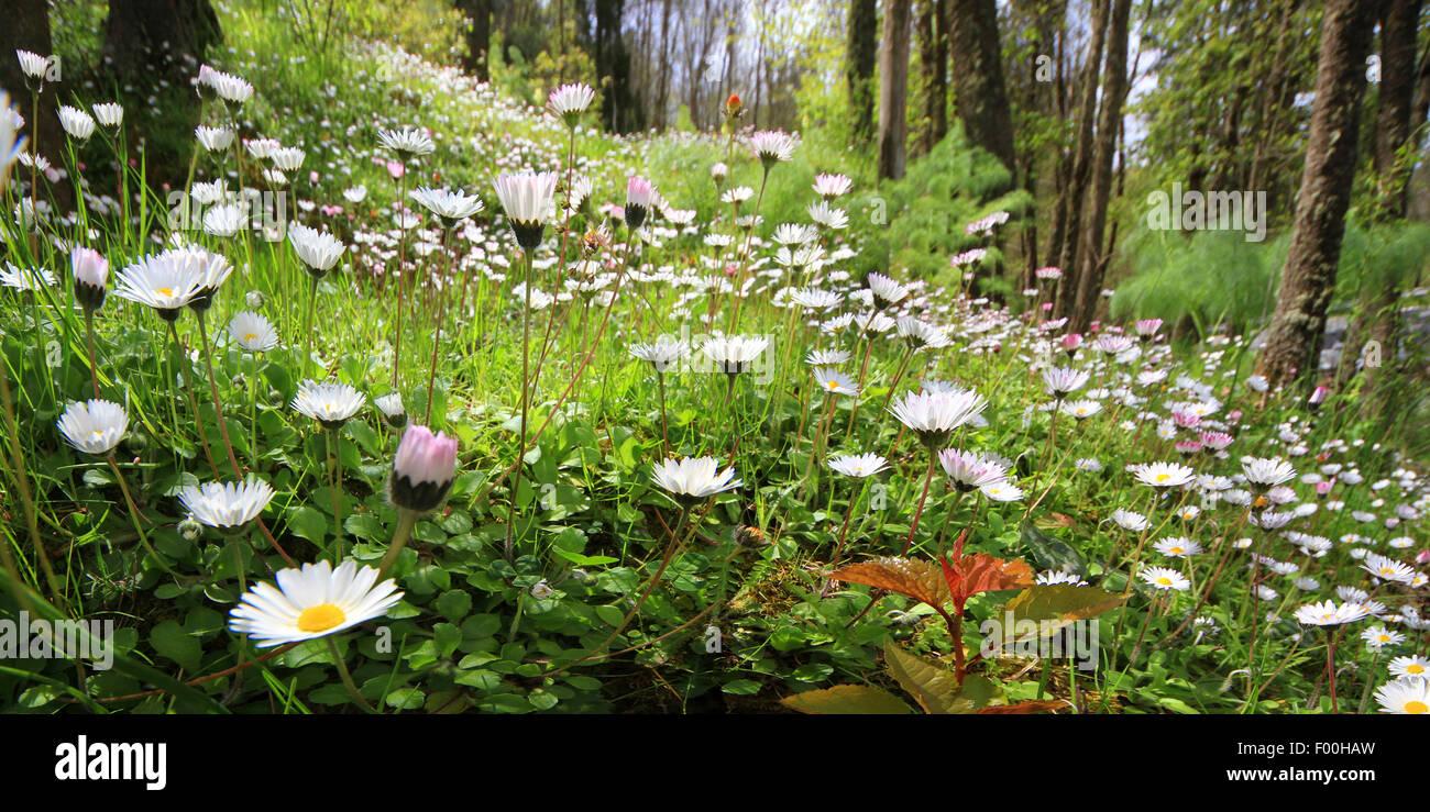 Marguerite commune, pelouse, Daisy Daisy (Anglais) Bellis perennis, flower meadow, Allemagne Photo Stock