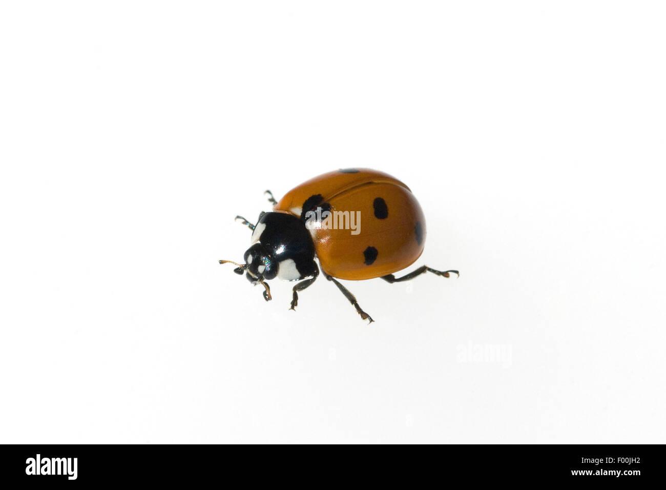 Semptempunctata Marienkaefer; Coccinella;; 7-Punkt; insekt Banque D'Images