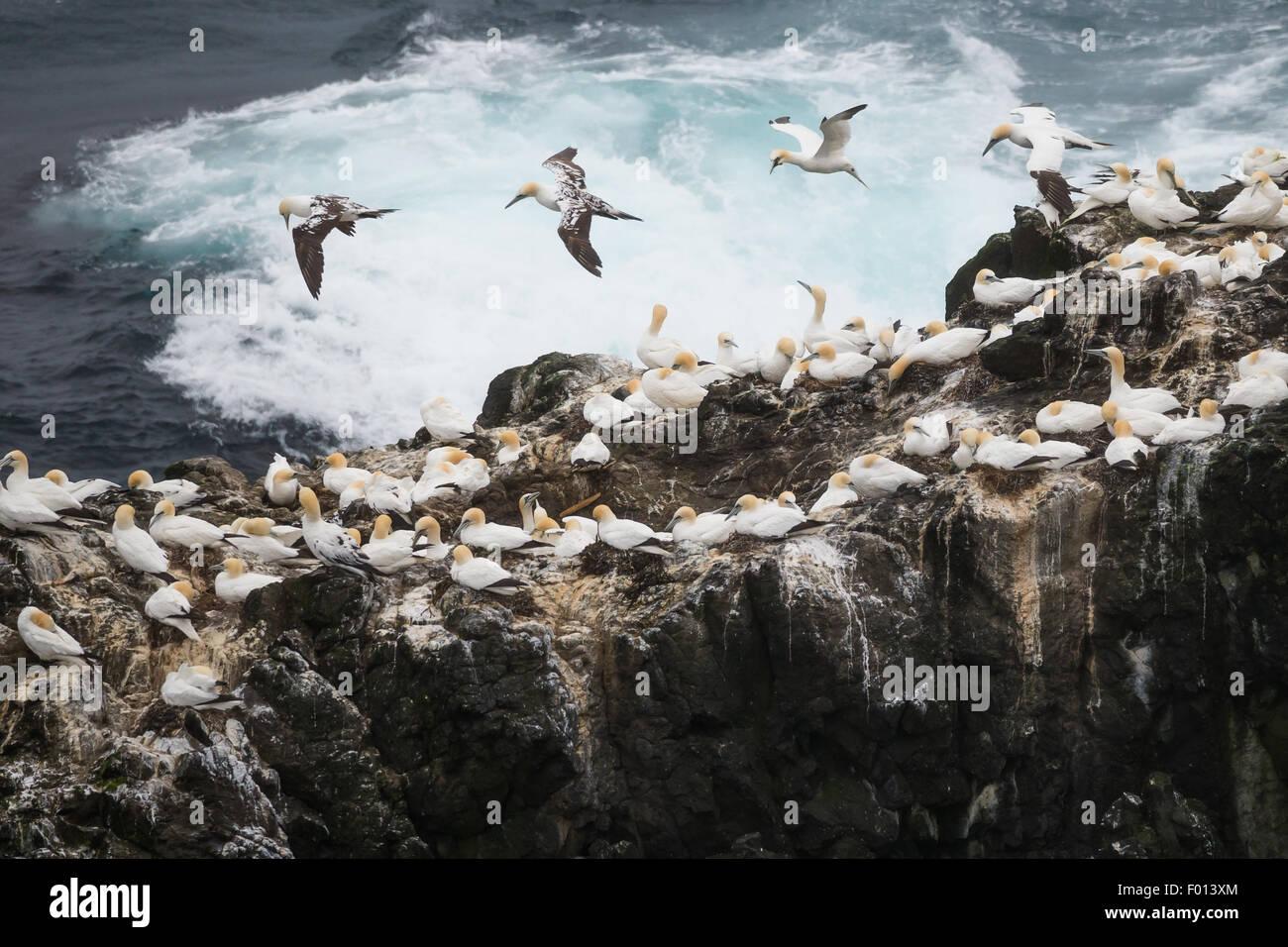 Bassan nicheurs en Mykines. Îles Féroé Photo Stock