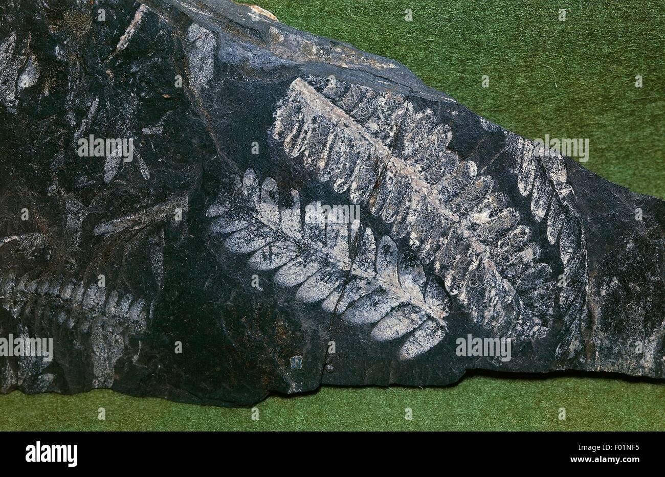 Impression de fossile fougère Pecopteris sp, Carbonifère, France. Photo Stock