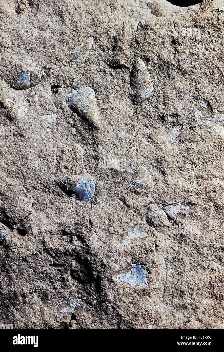Brachiopoda Lingula cuneata, fossiles du Silurien précoce, d'une époque. Photo Stock