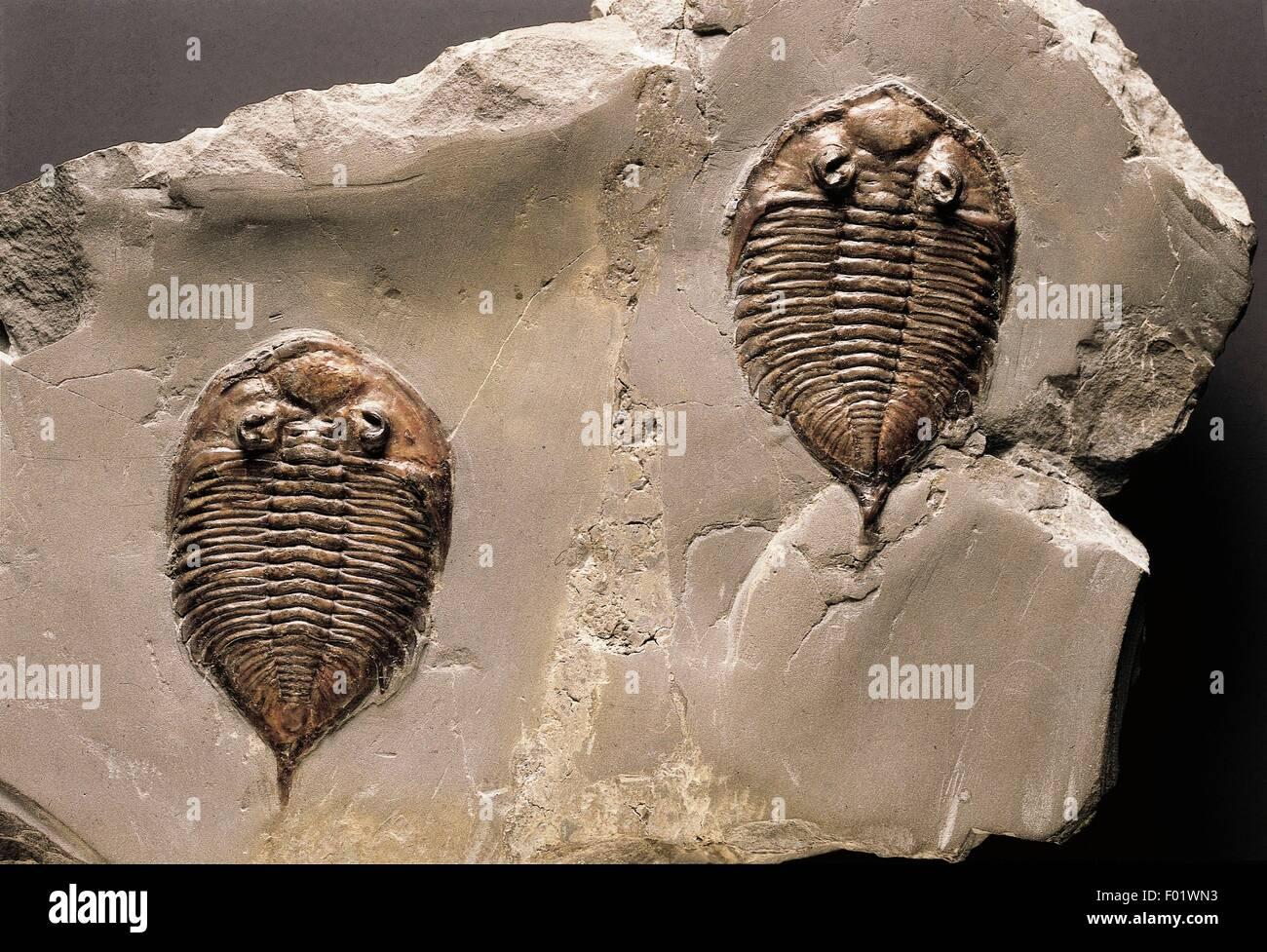 Des fossiles - Protostomia Arthropoda - Les Trilobites - Dalmanites limulurus - Silurien. Photo Stock
