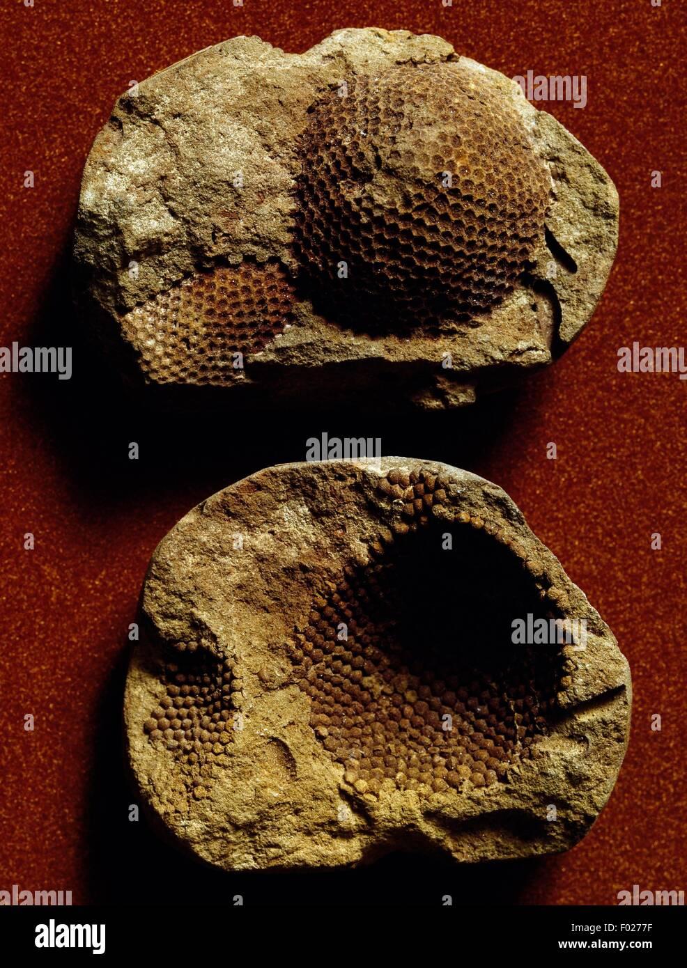 Nidulites les fossiles. Photo Stock