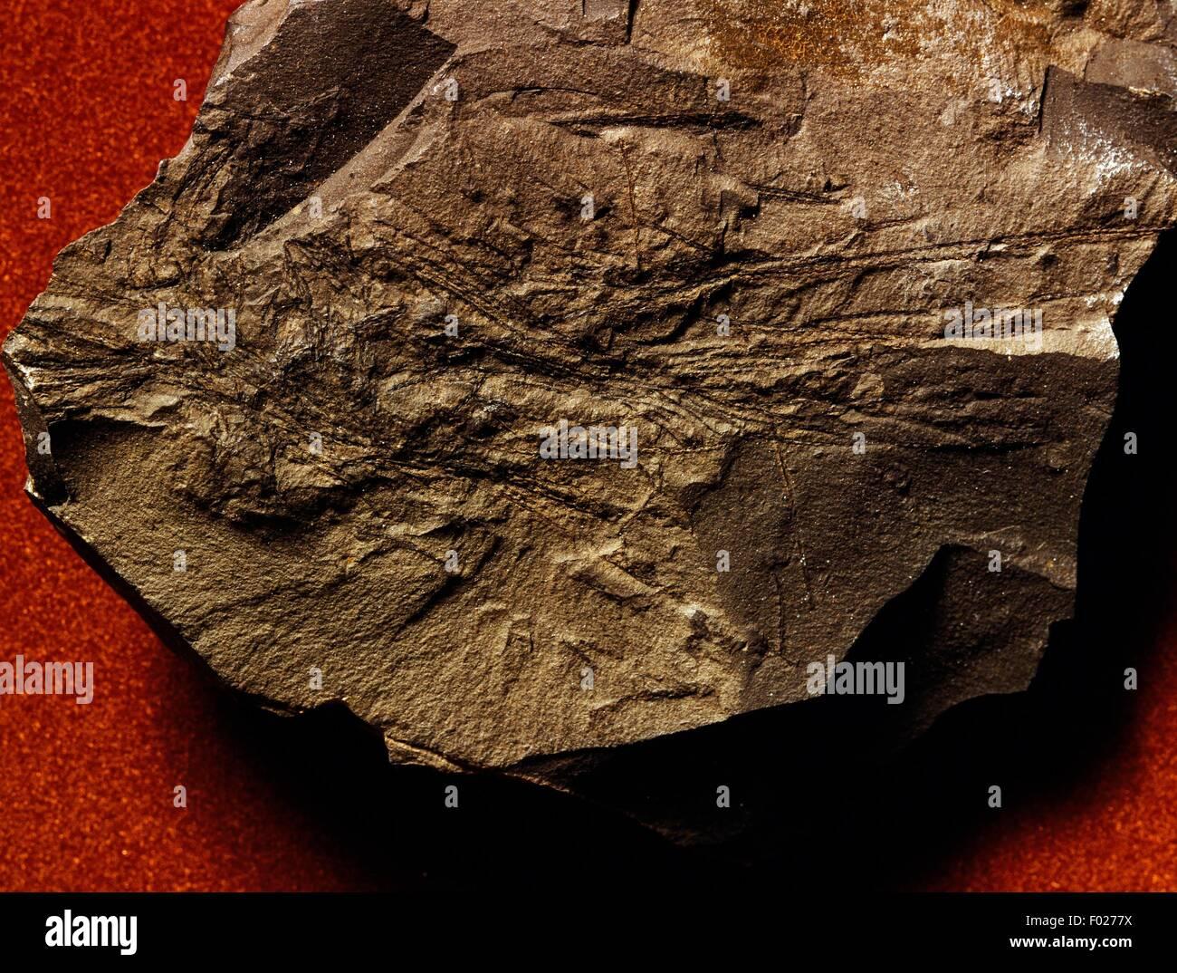 Leptograptus sp fossiles, Graptolithina. Photo Stock
